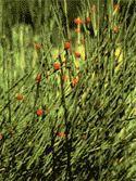 Ефедра хвощевая